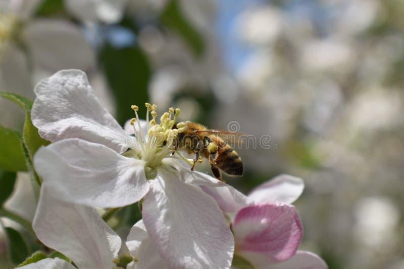 Honey Bee Macro i vår, den vita äppleblomningen blommar tätt upp, samlar biet pollen och nektar Knoppar för Apple träd, vårbackg arkivfoton