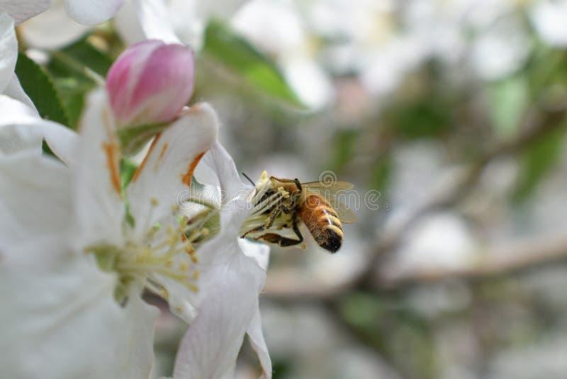 Honey Bee Macro i vår, den vita äppleblomningen blommar tätt upp, samlar biet pollen och nektar Knoppar för Apple träd, vårbackg royaltyfri foto