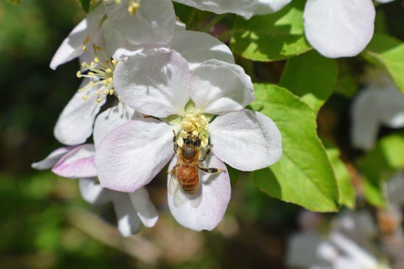Honey Bee Macro i vår, den vita äppleblomningen blommar tätt upp, samlar biet pollen och nektar Knoppar för Apple träd, vårbackg arkivbilder