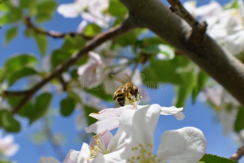 Honey Bee Macro i vår, den vita äppleblomningen blommar tätt upp, samlar biet pollen och nektar Knoppar för Apple träd, vårbackg royaltyfri bild