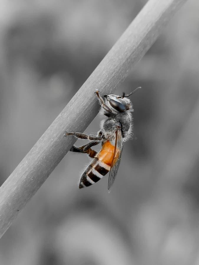 Honey Bee macro shot in field stock image