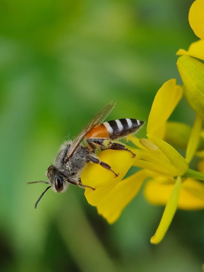 Honey Bee macro shot on mustard flower stock photos