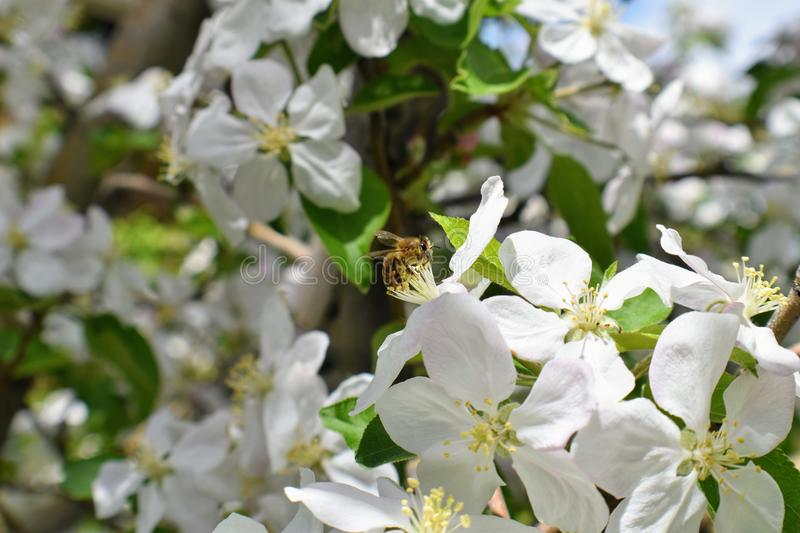 Honey Bee Macro in Springtime, white apple blossom flowers close up, bee collects pollen and nectar. Apple tree buds, spring backg royalty free stock image