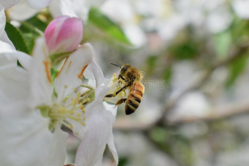 Honey Bee Macro in Springtime, white apple blossom flowers close up, bee collects pollen and nectar. Apple tree buds, spring backg. Round in South Jordan, Utah stock photos