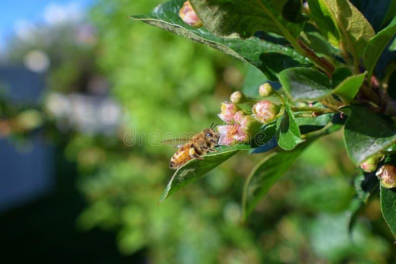 Honey Bee, macro vista del primo piano, raccogliendo nettare e polline su un fiore del fiore del Cotoneaster che è un genere dell fotografia stock