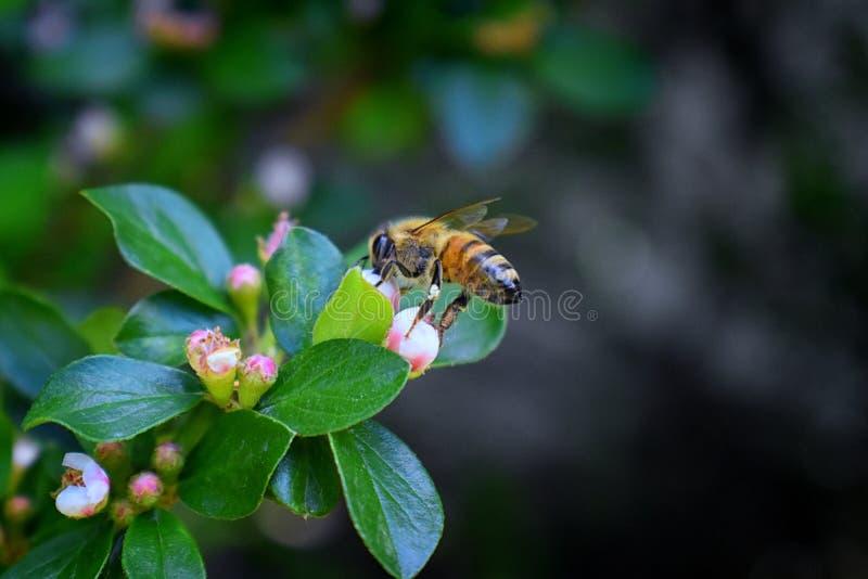 Honey Bee makrocloseupsikt och att samla nektar och pollen på en Cotoneasterblommablomning som är ett släkte av blomningväxter I arkivfoton