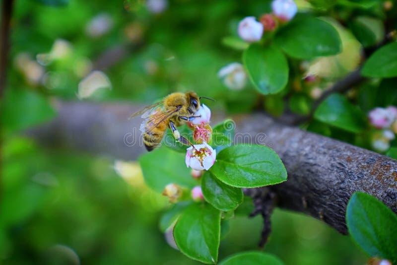 Honey Bee makrocloseupsikt och att samla nektar och pollen på en Cotoneasterblommablomning som är ett släkte av blomningväxter I royaltyfri bild