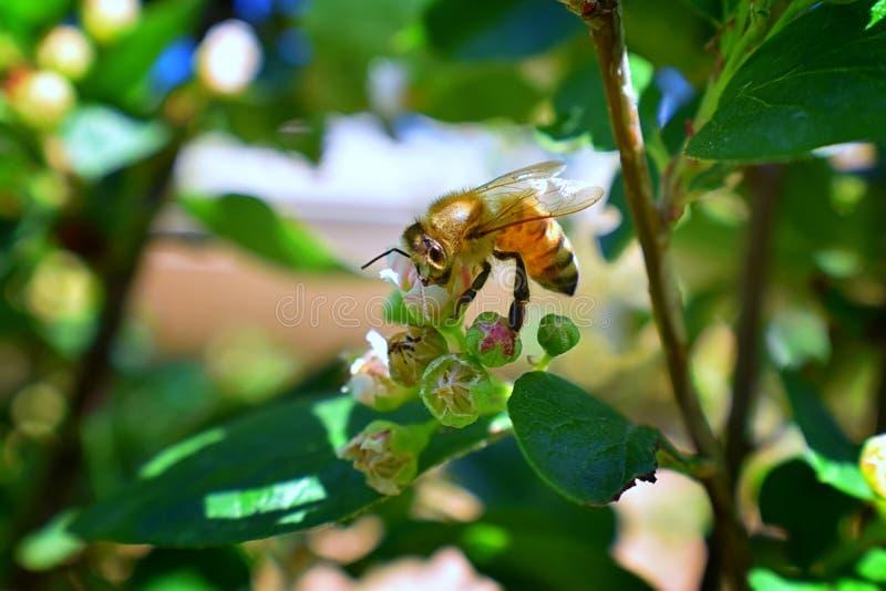Honey Bee, Makronahaufnahmeansicht, Nektar und Blütenstaub auf einer Cotoneasterblumenblüte sammelnd, die eine Klasse von Blütenp lizenzfreie stockfotografie