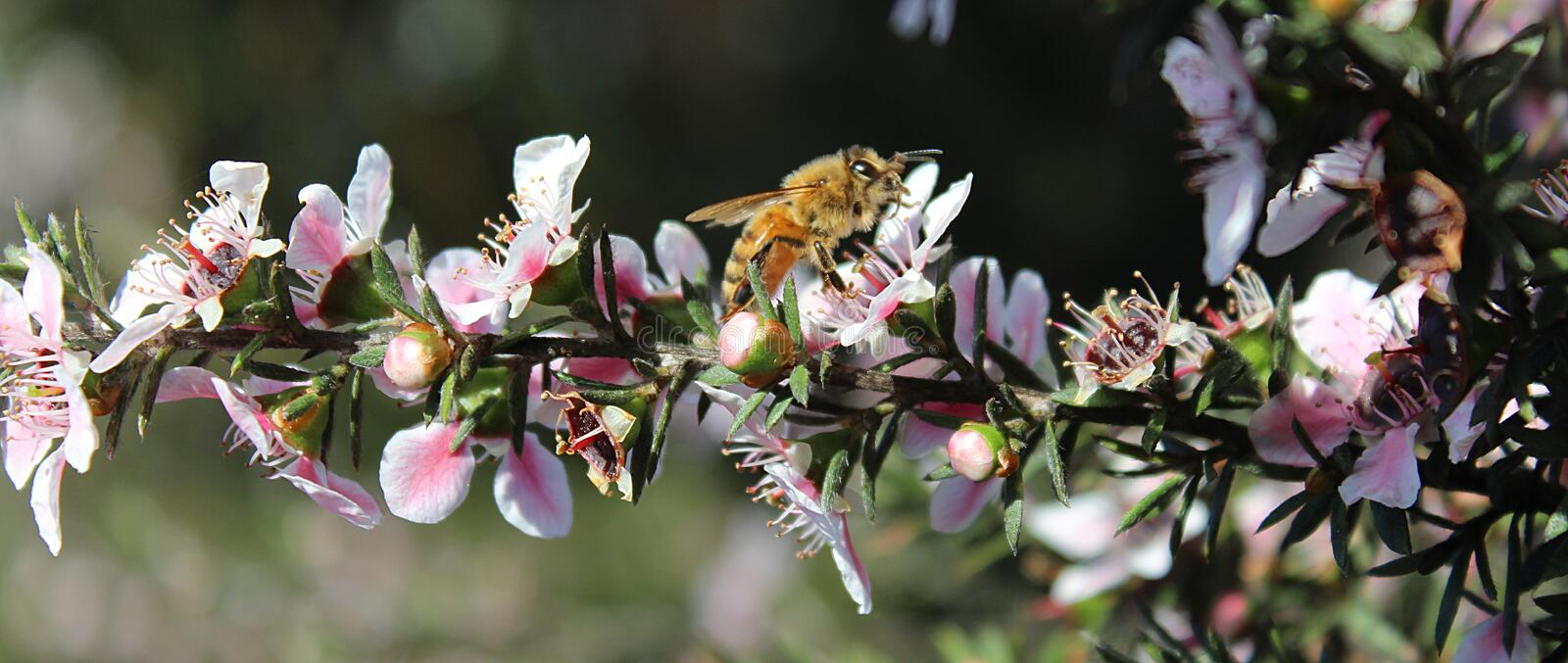 Honey Bee on Manuka Flower. Honey bee gathering pollen from a pink manuka flower royalty free stock images