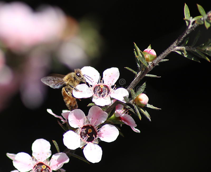 Honey Bee on Manuka Flower. Honey bee gathering pollen from a pink manuka flower royalty free stock photography
