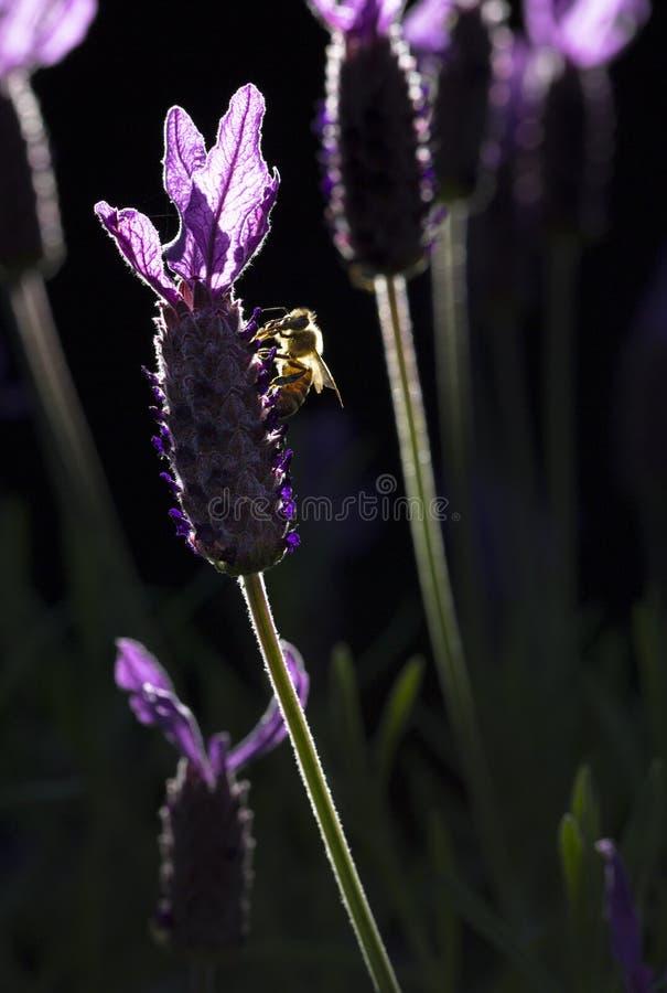 Honey Bee nas alfazemas imagem de stock