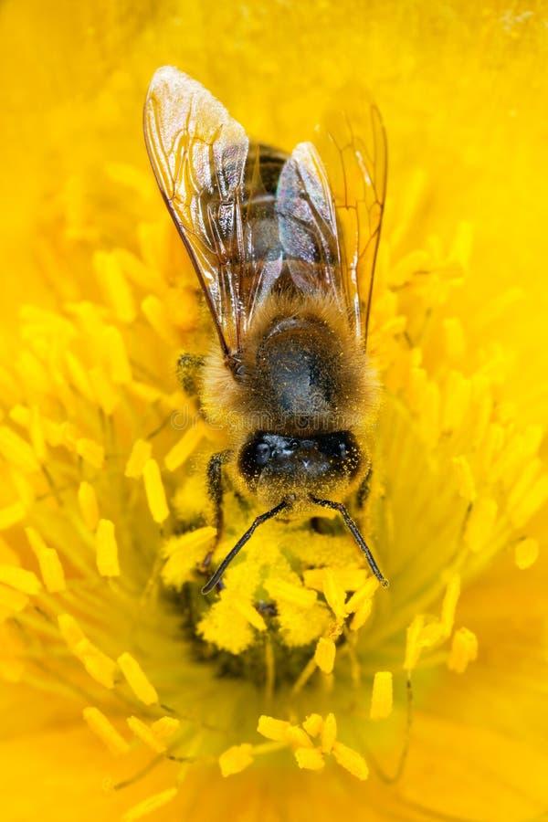 Free Honey Bee On Poppy. Stock Photography - 9785522