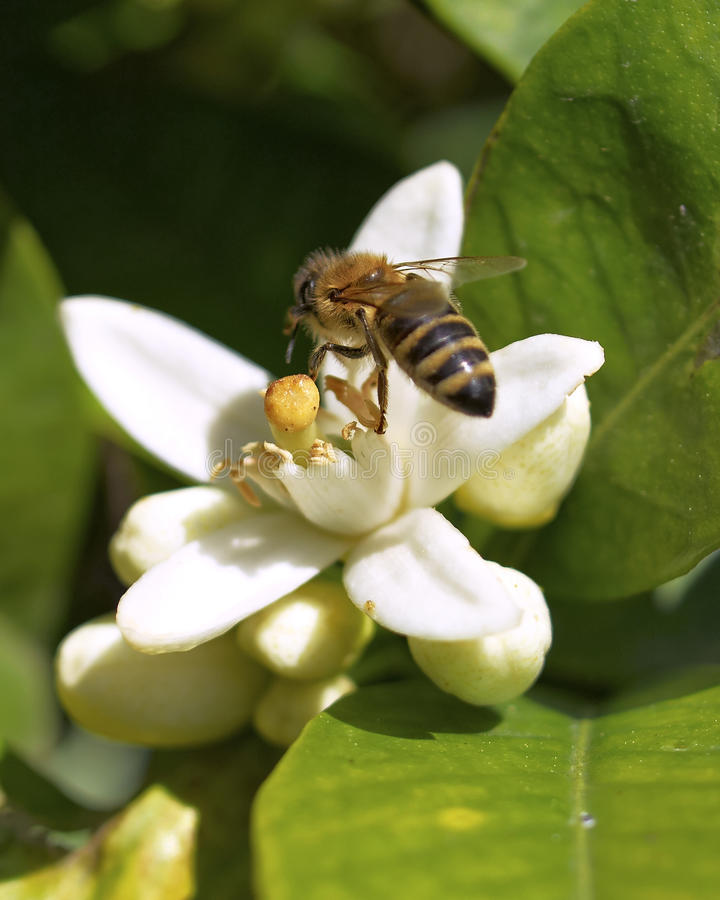 Free Honey Bee On White Flower Royalty Free Stock Photography - 19621437
