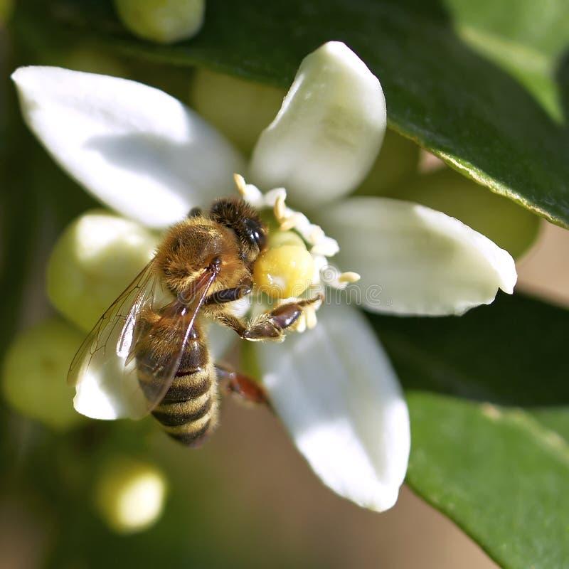 Free Honey Bee On White Flower Royalty Free Stock Image - 19621446