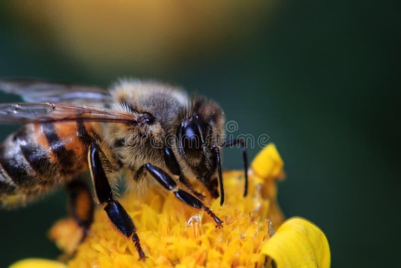 Download Honey Bee op Gele Bloem stock afbeelding. Afbeelding bestaande uit bloesem - 39107565