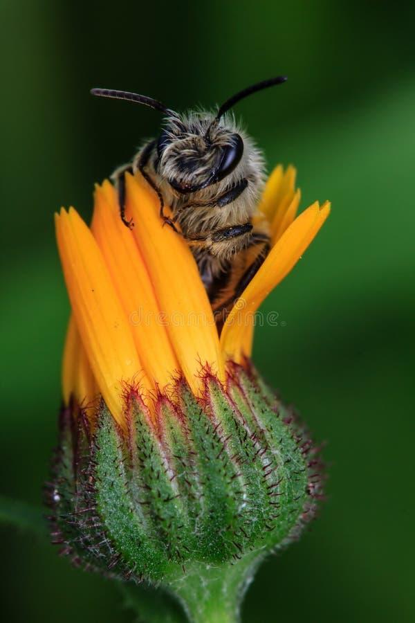 Download Honey Bee op Gele Bloem stock foto. Afbeelding bestaande uit bloesem - 39107606