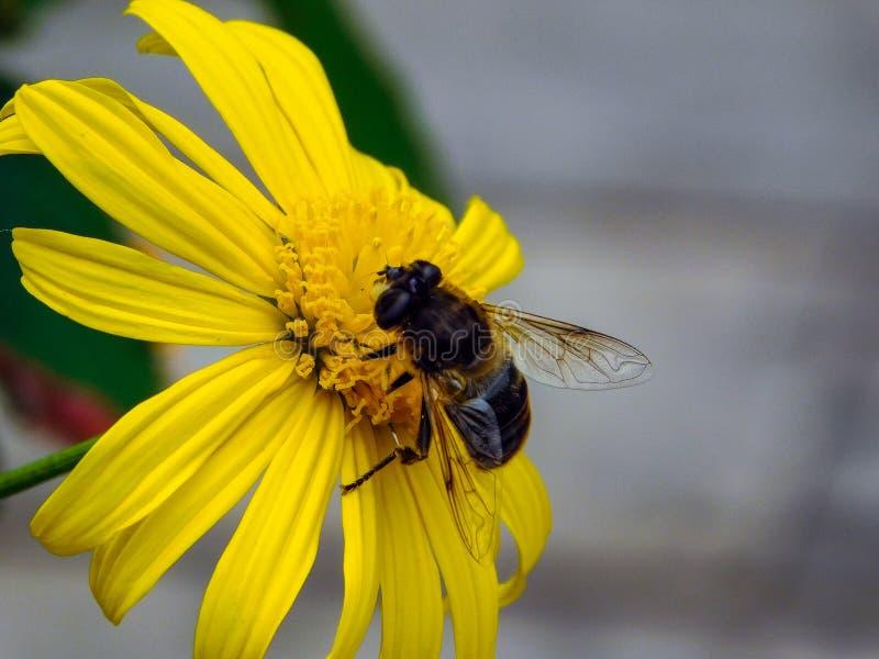 Honey Bee op het werk royalty-vrije stock foto's