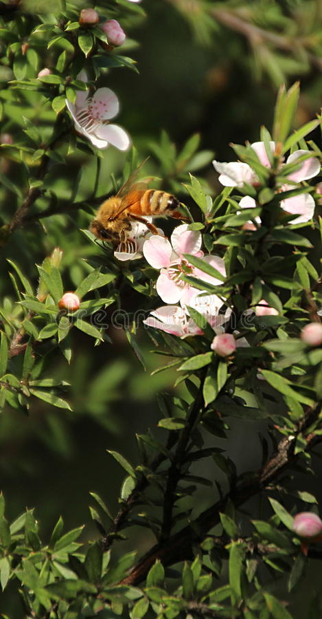 Honey Bee op Manuka-Bloem royalty-vrije stock foto