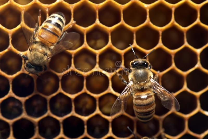 Honey Bee på bikupan i South East Asia arkivfoton