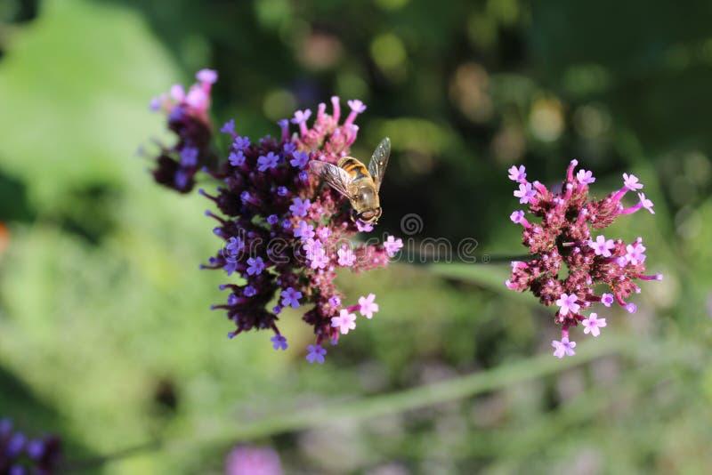 Honey Bee på Verbena Officinalis royaltyfri bild