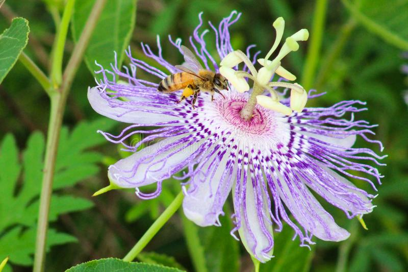 Honey bee on passion flower stock images
