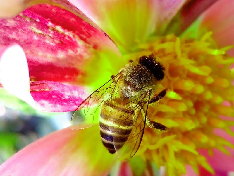 Honey Bee Perched on Pink and Yellow Petaled Flower Closeup Photography stock photos