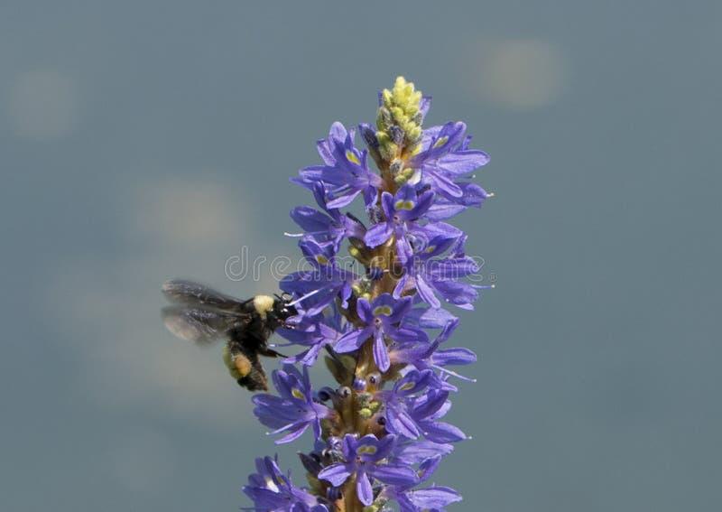 Honey Bee on Pickerelweed stock images