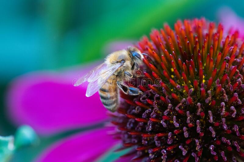 Honey bee on a pink flower. Macro of honey bee pollinating a pink echinacea flower with blurred background royalty free stock image