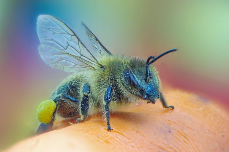 Honey bee with polen royalty free stock photos