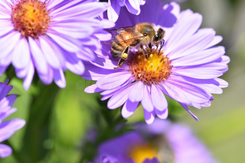 Honey bee pollinate purple flowers micro photo royalty free stock images