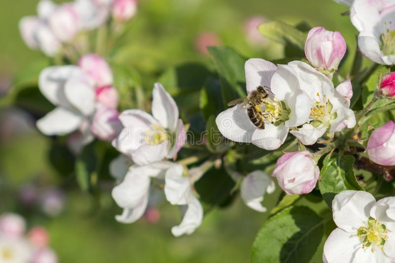 Honey bee pollinating apple blossom. The Apple tree blooms. Spring flowers.  royalty free stock photos