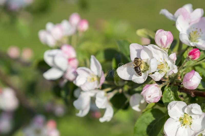 Honey bee pollinating apple blossom. The Apple tree blooms. Spring flowers.  royalty free stock photo
