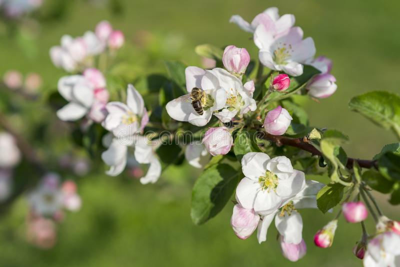 Honey bee pollinating apple blossom. The Apple tree blooms. Spring flowers.  stock photography