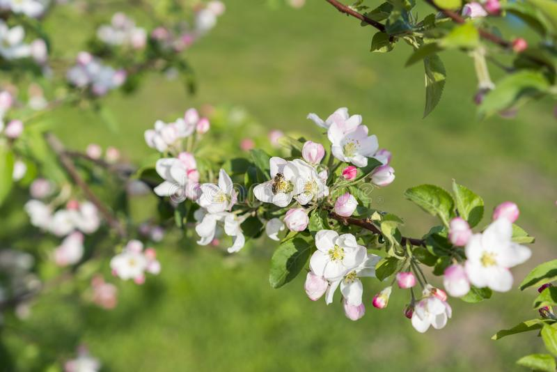Honey bee pollinating apple blossom. The Apple tree blooms. Spring flowers.  stock images
