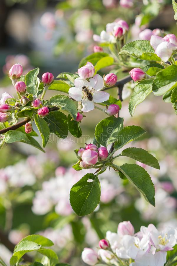 Honey bee pollinating apple blossom. The Apple tree blooms. Spring flowers. vertical photo.  stock photography