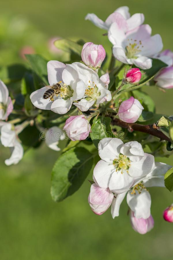 Honey bee pollinating apple blossom. The Apple tree blooms. Spring flowers. vertical photo.  stock photo