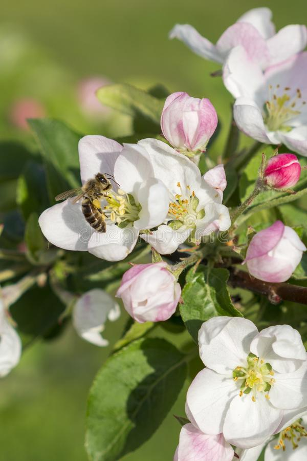 Honey bee pollinating apple blossom. The Apple tree blooms. Spring flowers. vertical photo.  royalty free stock image