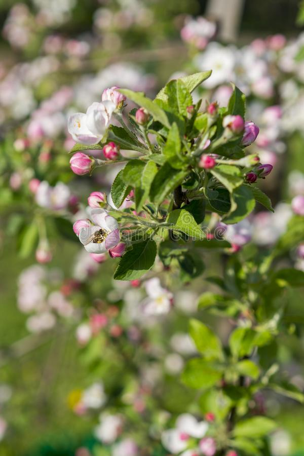 Honey bee pollinating apple blossom. The Apple tree blooms. Spring flowers. vertical photo.  royalty free stock photos