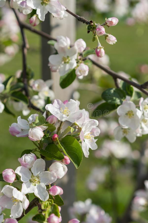 Honey bee pollinating apple blossom. The Apple tree blooms. Spring flowers. vertical photo.  stock image