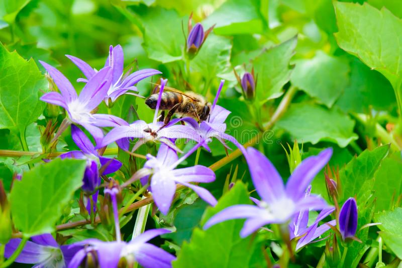 Honey bee pollinating Campanula flowers. Honey bee Apis laboriosa flies a flower to flower and pollinating. Taken with macro lens 105mm f2,8 royalty free stock image