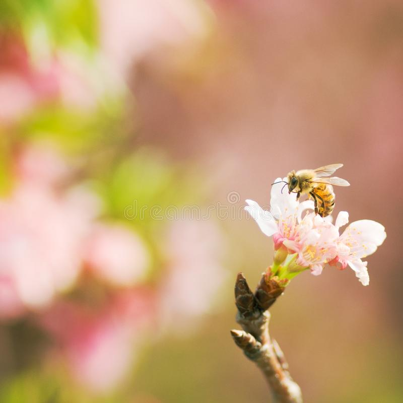 Free Honey Bee Pollinating Cherry Blossoms. Insect, Flower, Agriculture, Honeybee, Sakura Stock Photo - 112947280