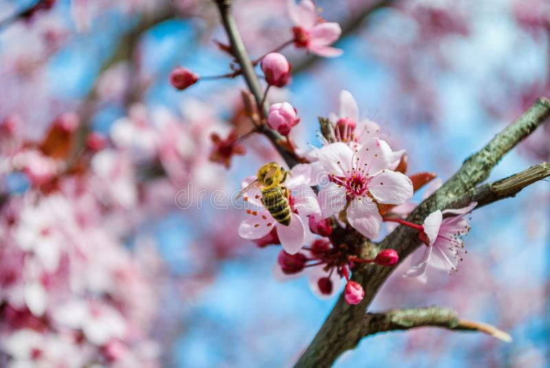 Honey Bee pollinating cherry pink flower on beautiful spring day. Selective focus. Spring and nature concept image royalty free stock photo