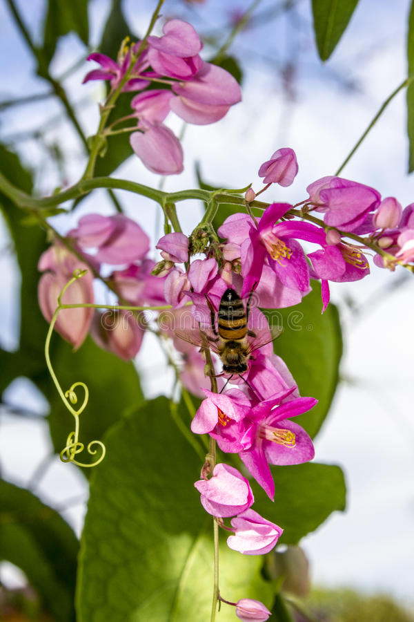 Honey Bee Pollinating die Rosa-blühenden Blumen der Kranz-der Rebe einer Königin stockbild