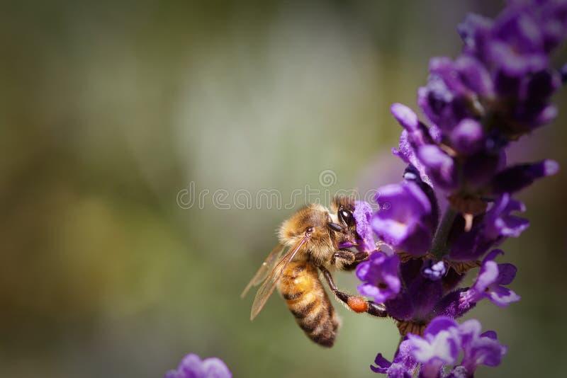 Honey Bee Pollinating eine Lavendel-Blume lizenzfreie stockbilder