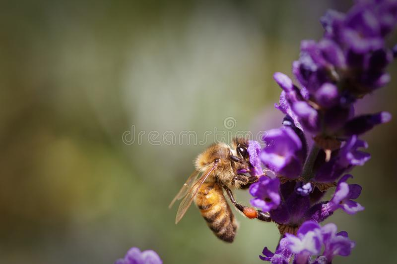 Honey Bee Pollinating en lavendelblomma royaltyfria bilder