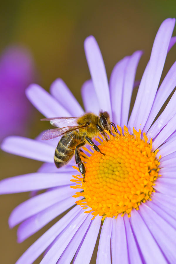 Honey bee pollinating flower royalty free stock photos