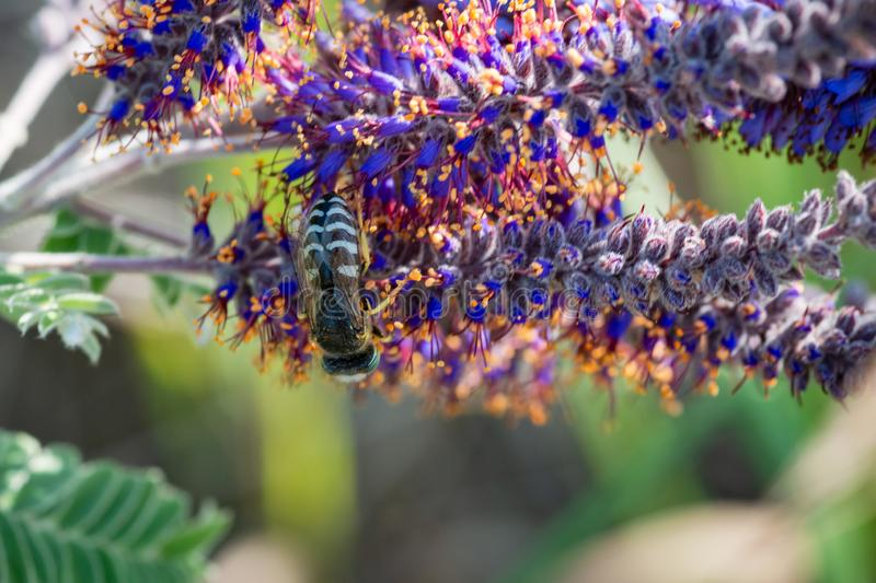 Honey Bee pollinating on Leadplant blooming flowers in the prairie field at the sunny summer day. Amorpha canescens in Fabaceae royalty free stock image