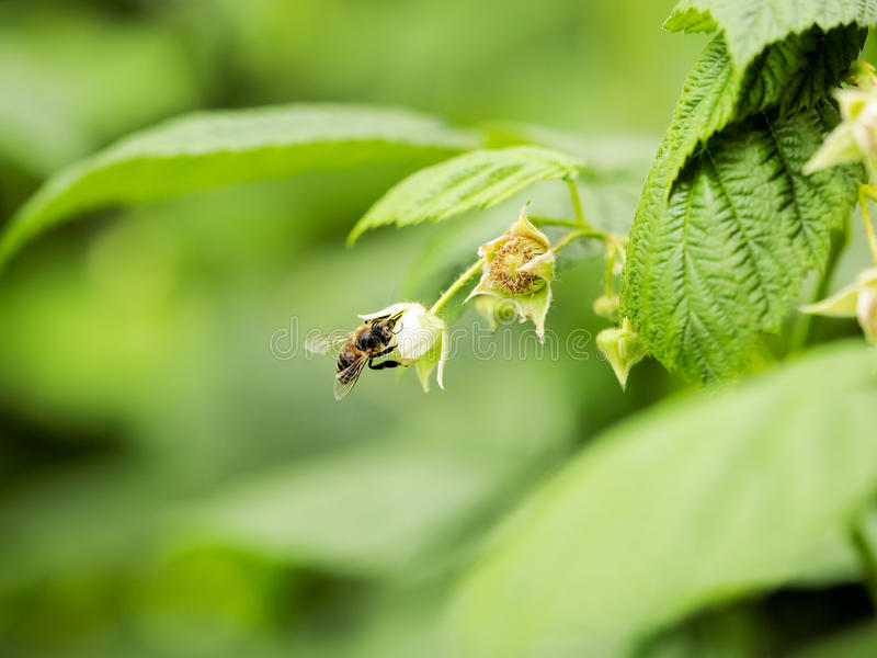 Honey bee pollinating raspberry flowers. Raspberry bushes in full bloom attract honey bees with their nectar royalty free stock photo