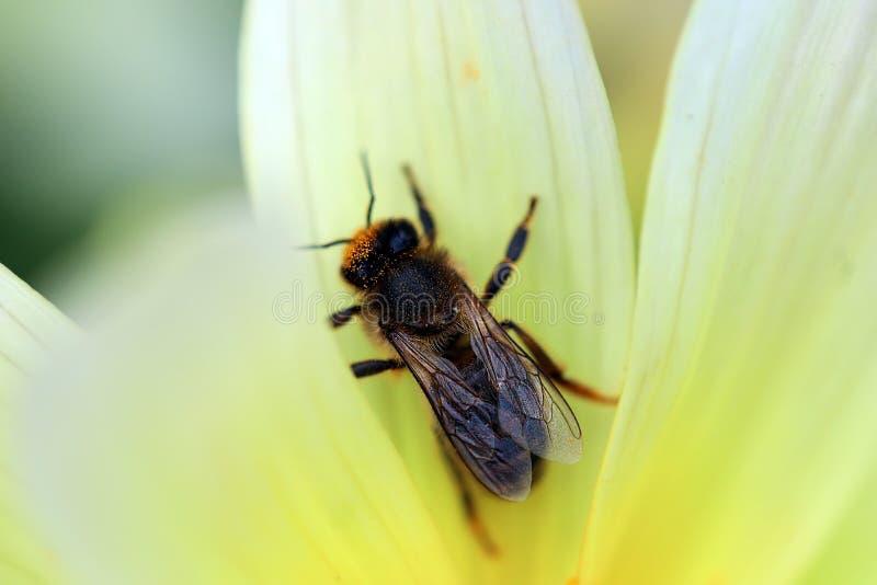 Honey Bee Pollinating un tiro macro de la flor imagen de archivo libre de regalías