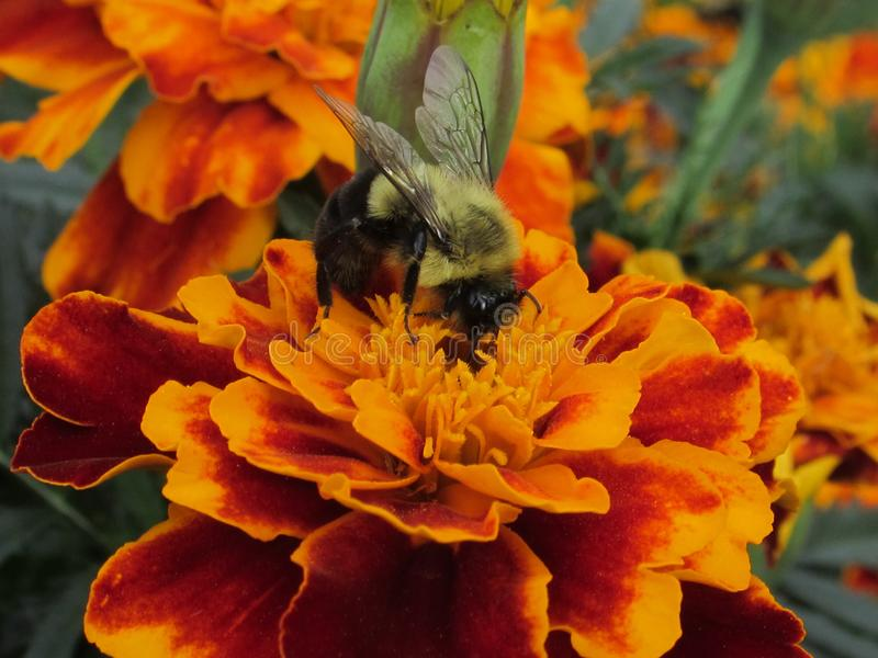 Honey Bee Pollinating Yellow Marigold blommor royaltyfri fotografi
